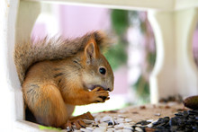 Red Squirrel Eating Nuts In Park