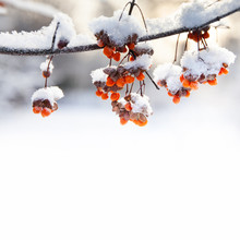 Beautiful Winter Park Nature Still Life. Orange Berries Snow Covered Branches, Winter Park Nature Macro View. Selective Focus. Copy Space.