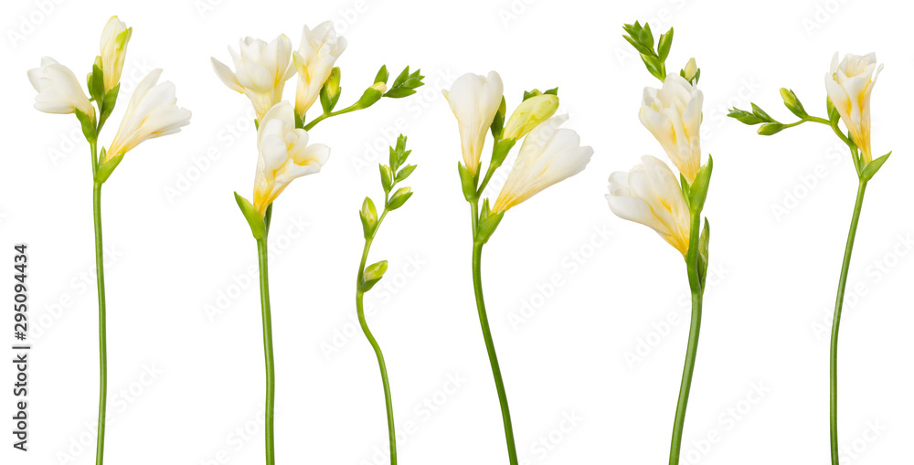 Fototapeta Freesia white flowers set twigs with buds in bloom isolated on white background