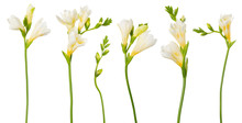 Freesia White Flowers Set Twig...