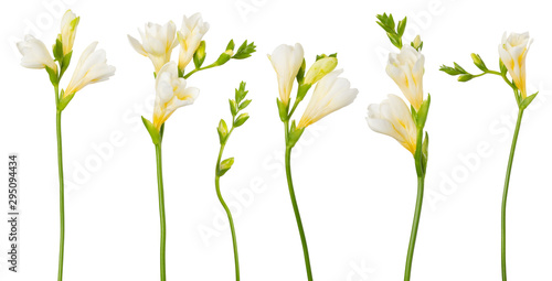 Obraz Freesia white flowers set twigs with buds in bloom isolated on white background - fototapety do salonu