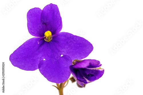 Violet flower (Saintpaulia) close-up isolated on a white background