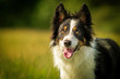 Happy Black Tri Border Collie Dog in Grass Meadow