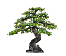 Isolated Of Bonsai Tree On White Background And Clipping Path For Ecology Decoration Website And Magazine.- Image.
