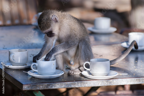 Vervet monkey,Kruger National Park,South Africa Tapéta, Fotótapéta