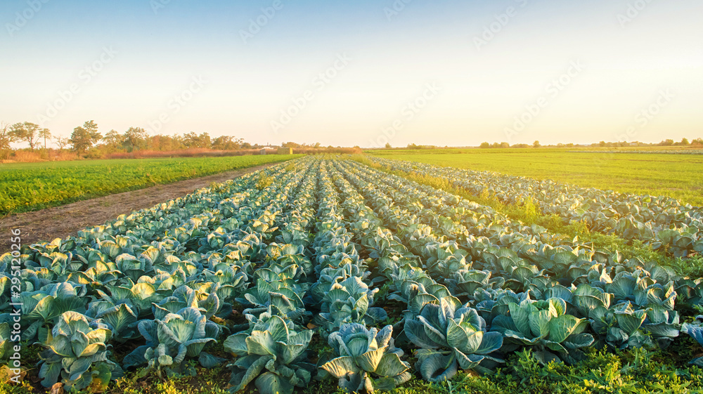 Fototapeta Cabbage plantations in the sunset light. Growing organic vegetables. Eco-friendly products. Agriculture and farming. Plantation cultivation. Selective focus
