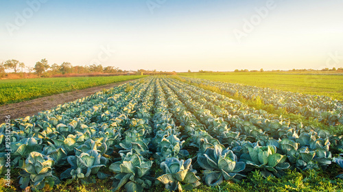Cabbage plantations in the sunset light. Growing organic vegetables. Eco-friendly products. Agriculture and farming. Plantation cultivation. Selective focus