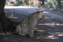 Lion Panting While Sitting In The Shade In Kruger National Park In South Africa