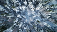 Fir Trees Covered In Snow Close Up. Forest In Snow, Aerial Landscape. Christmas Is Coming