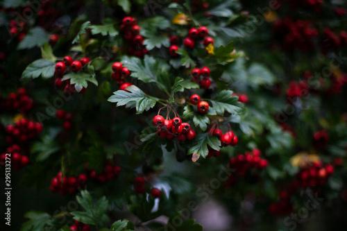 Stampa su Tela Red hawthorn on a bush