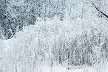 Frozen Tree Branches And Bushes Covered In Snow On A Sunny Winter Christmas Morning, On A Snowy Background