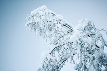 Frozen Tree Branches And Bushe...