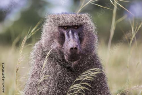 Monkey Baboon - Portrait Canvas Print
