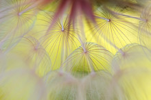Abstract Macro Of A Dandelion ...
