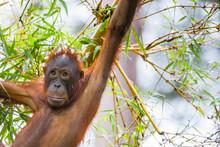 Sepilok Orangutan Rehabiliatio...