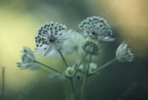 Astrantia Canvas Print