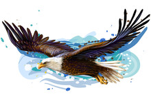Soaring Bald Eagle.  Color, Re...