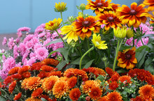 Bright Background With Flowering Rows Of   Rudbeckia  And Chrysanthemum On A Blue Background Horizontally.  Rudbeckia. Asteraceae Family. Hardy Chrysanthemums.  Chrysanthemum Koreanum. Copy Space