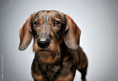 Obraz Portrait of an adorable wired haired Dachshund looking curiously at the camera - fototapety do salonu