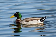 Male Mallard Duck Swims Along ...