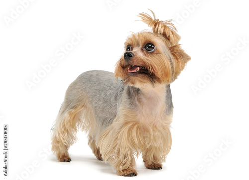 Studio shot of an adorable Yorkshire Terrier looking up curiously with funny ponytail