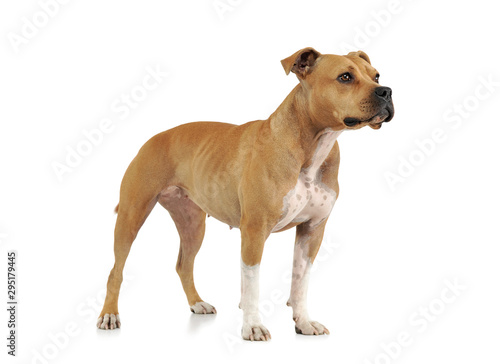 Obraz Studio shot of an adorable American Staffordshire Terrier standing  and looking curiously - fototapety do salonu