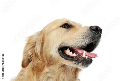 Poster Chien Portrait of an adorable Golden retriever looking satisfied