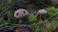 Lycoperdon Marginatum Mushroom Lookinng Like A Melancholy Little Monster In The Gras