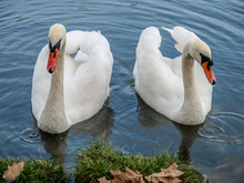Two White Swans Heart Water Sc...