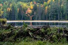 A Beaver Dam Found On The Beav...