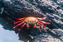 Colorful Crab Red Sally Fish C...