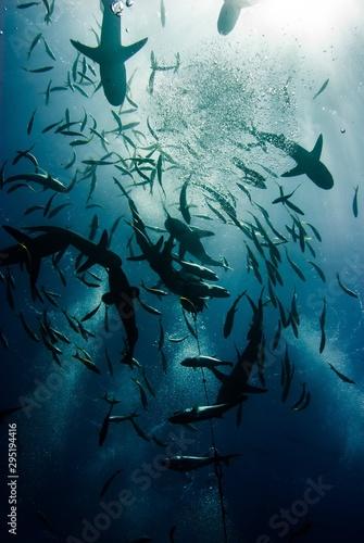 Cuadros en Lienzo sharks
