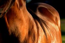 Horse Skin In The Sunlight