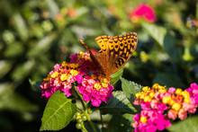 Variegated Fritillary Butterfl...