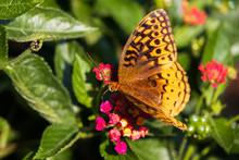 Variegated Fritillary Butterfly On Lantana Flowers