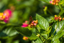 Crossline Skipper Sitting On Lantana Flowers