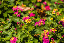 Variegated Fritillary Butterfly On Lantana Flowers, Close-up