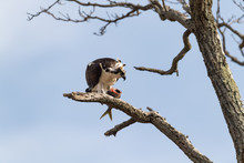 An Osprey Perched In A Tree Wi...