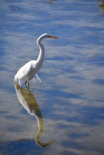 Great White Egret In Water