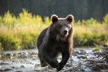 Grizzly Bear Running Through S...