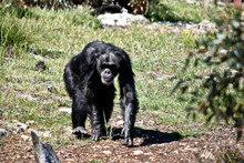 The Chimpanzee Use Their Hands...