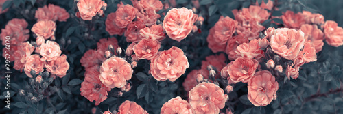 Fotografie, Obraz  Mysterious fantasy spring or summer floral wide banner with blooming pink rose f