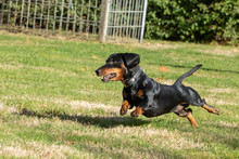 Dachshund Running And Jumping ...