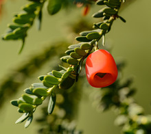 Red Yew Tree Berry