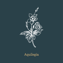 Aqilegia Vector Illustration. Hand Drawn Sketch Of Columbine Wild Flower In Engraving Style. Botanical Plant Isolated.