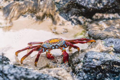 Colorful Crab Red Sally Fish close up Wallpaper Mural