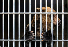 Brown Bear Sits In A Cage.