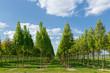 canvas print picture - Mehlbeerbäume in der Baumschule