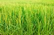 Leinwanddruck Bild - perfect rice farm