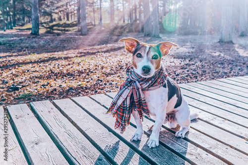 Photo  Cute jack russell dog wearing in scarf sitting on wooden boardwalk